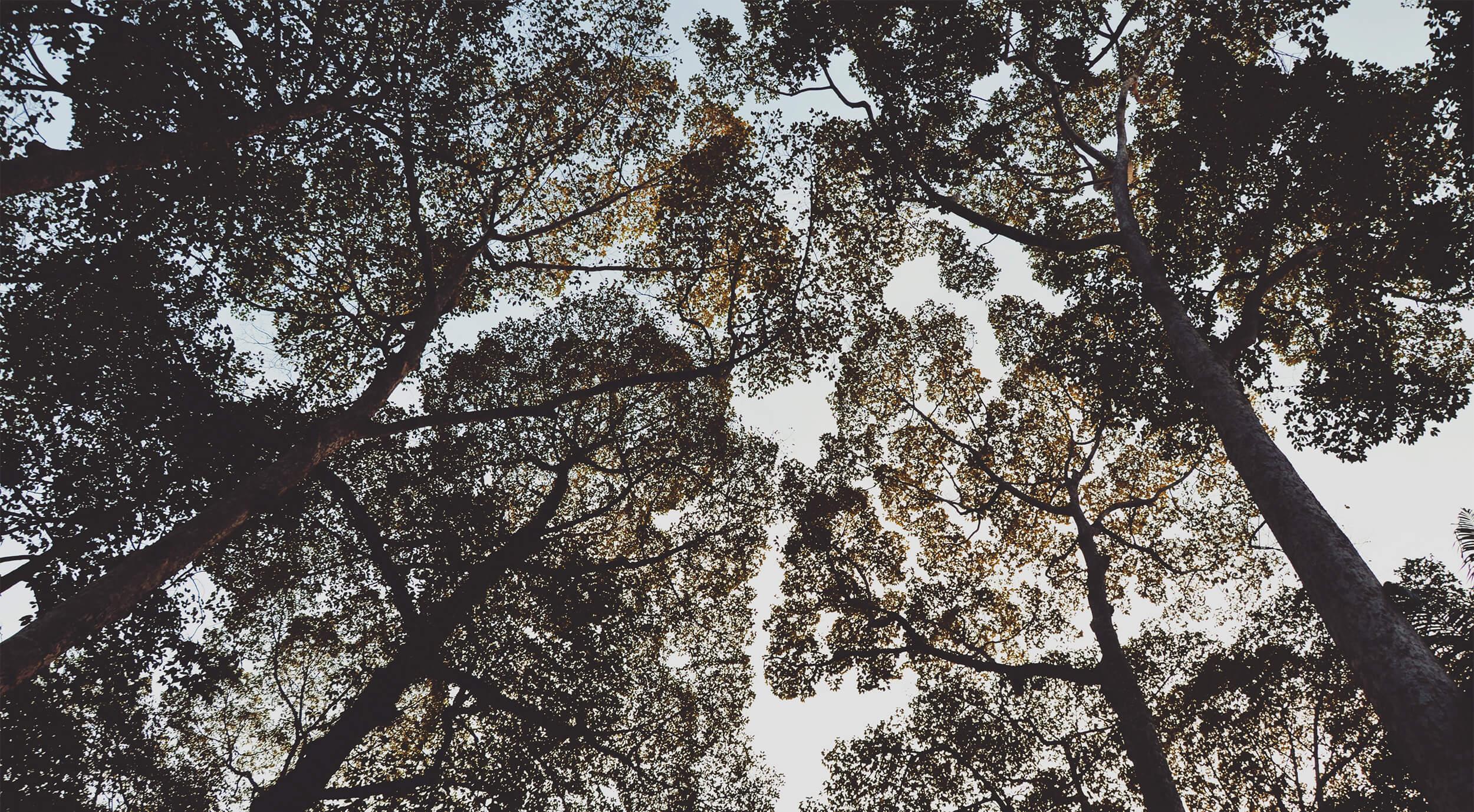 Trädkronor som möter varandra